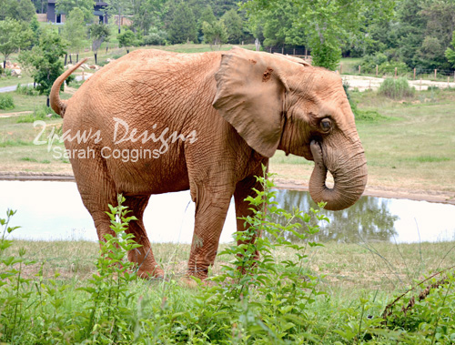 NC Zoo - June 2012: Elephant