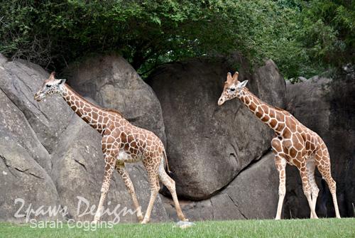 NC Zoo - June 2012: Giraffes