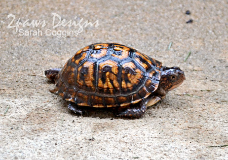 Box Turtle - August 2012