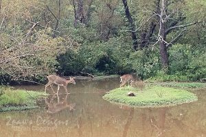 Deer at Lake Lynn Park - September 2015