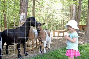 Project 52 Photos 2016: Week 17 Goats