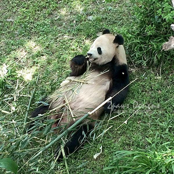 Project 52 Photos 2016: Week 21 Giant Panda