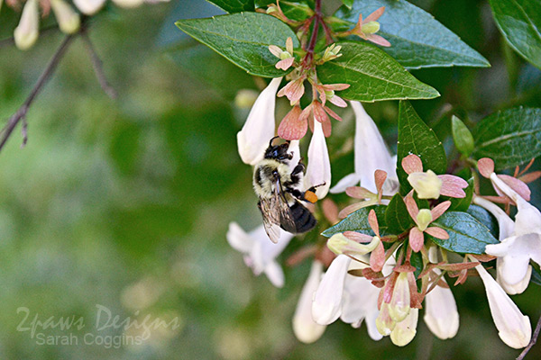 Project 52 Photos 2016: Week 23 Bumble Bee