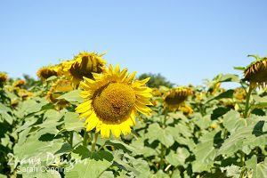 Project 52 Photos 2016: Week 27 Neuse River Trail Sunflowers