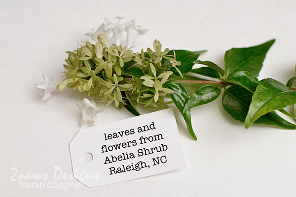 Nature Pal Exchange Collection - Fall 2016: Abelia Shrub clipping