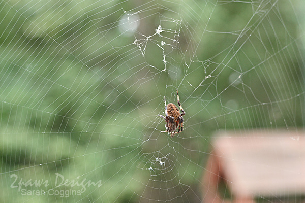 Project 52 Photos 2016: Spotted Orbweaver Spider
