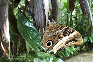 Project 52 Photos 2016: Owl Butterfly